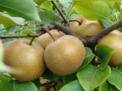 梨树生长过程中对环境条件的要求