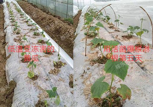 黄瓜苗施用稼乐夫微生物菌剂对比,稼乐夫微生物菌剂