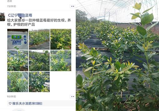 蓝莓上用什么生根肥好,稼乐夫微生物菌剂