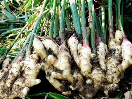 大姜生根水溶肥什么时候用?