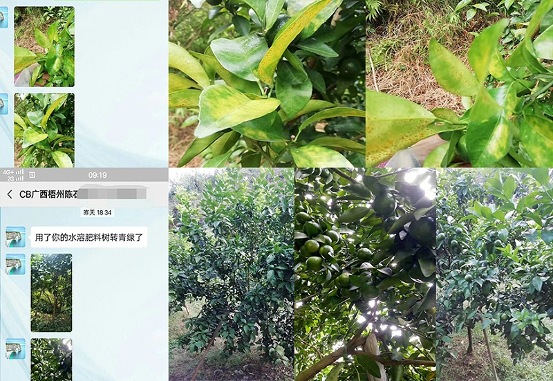 广西梧州柑橘种植户陈经理