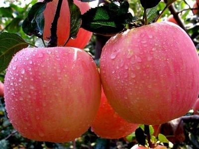 山东莱阳苹果种植户王经理——稼乐夫水溶肥客户案例