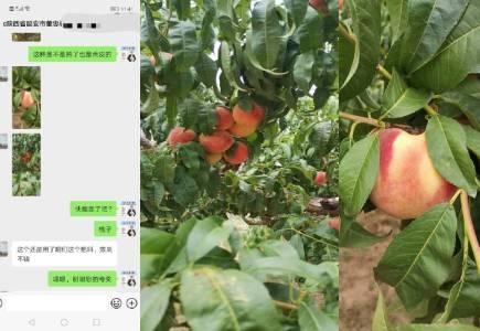 陕西延安桃树种植户董大哥