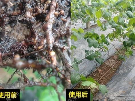 葡萄出现根结线虫烂根不长怎么办?