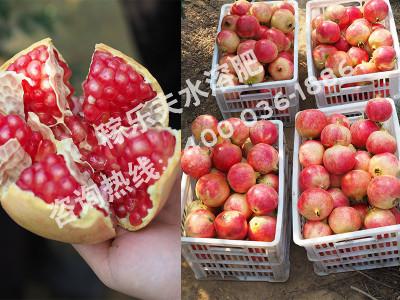 老客户回访——郑州荥阳软籽石榴基地刘大哥