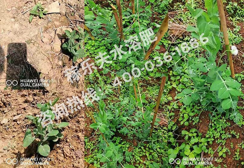 云南红河水果豌豆种植户梁经理