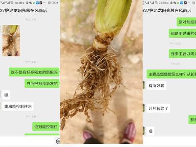 山东济宁芹菜种植户胡兰英——稼乐夫水溶肥客户案例