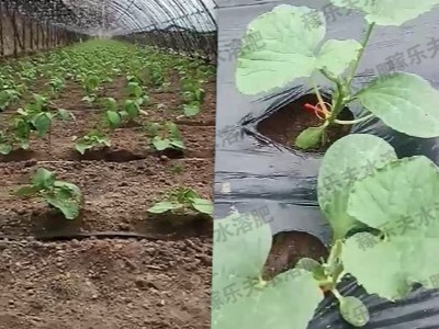 甜瓜豆角苗期怎么施肥才能长势好?