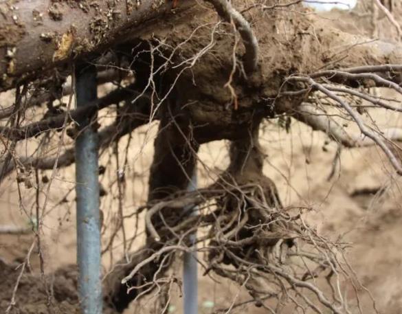 苹果树根系,稼乐夫水溶肥