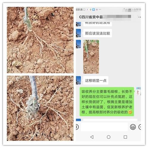 四川资中柑橘种植户李经理