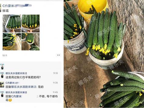 设施黄瓜怎么施肥效果好?