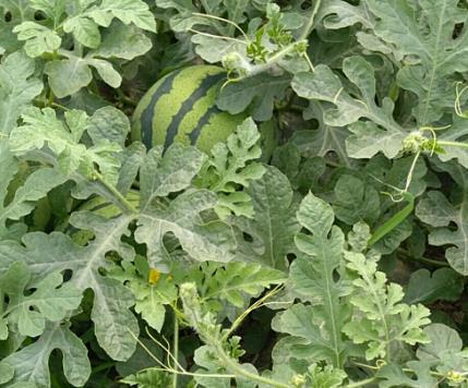 西瓜水溶肥哪家好?