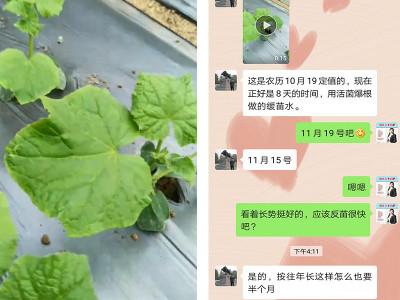 山东临沂黄瓜种植户李大哥——稼乐夫水溶肥客户案例