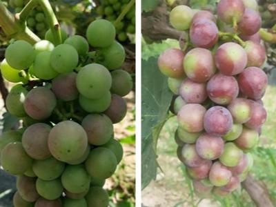 葡萄促进自然转色使用什么叶面肥效果好?