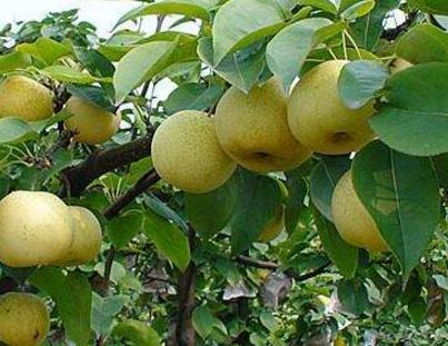 梨树的施肥技术