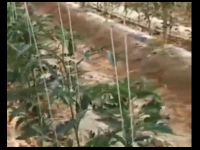 番茄微生物肥料厂家选择什么肥料好?