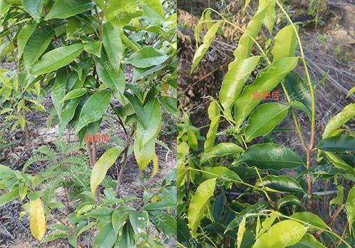 稼乐夫水溶肥用在沉香树上前后效果对比