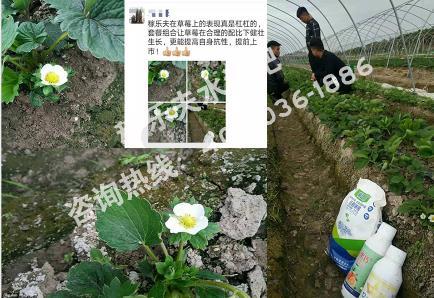 江苏淮安代理商推广草莓上使用微生物菌剂根腾搭配叶面肥效果反馈