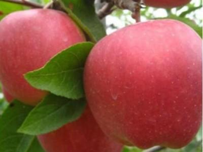 苹果膨果期怎么管理?