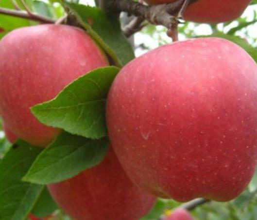使用过稼乐夫水溶肥的苹果