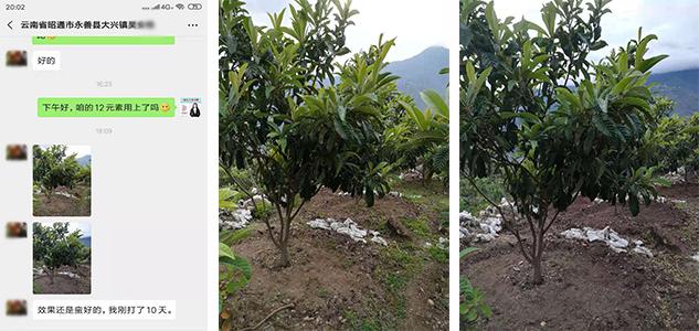 枇杷树使用12元素联盟前后效果对比