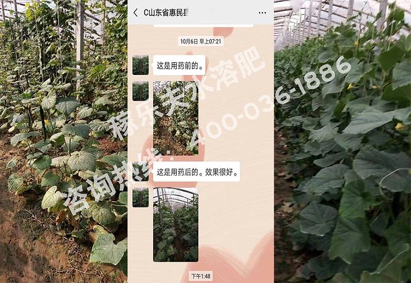 山东惠民县黄瓜种植户单经理