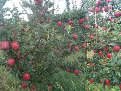 苹果上喷施什么叶面肥果品好?