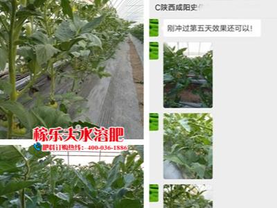 陕西咸阳番茄种植户史经理——稼乐夫水溶肥客户案例