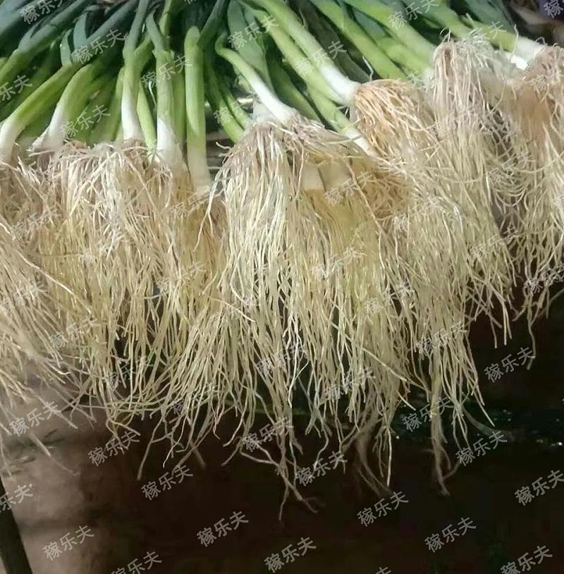 使用过稼乐夫肥料的蒜苗根系