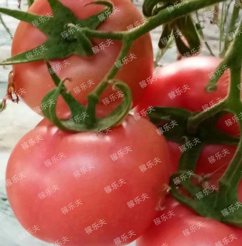 使用过稼乐夫肥料的番茄