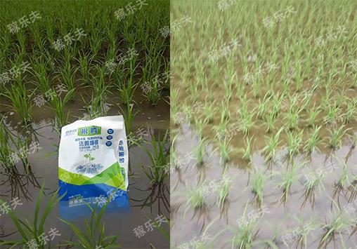 水稻秧苗上使用稼乐夫微生物菌剂根腾活菌爆根肥效果,稼乐夫微生物菌剂