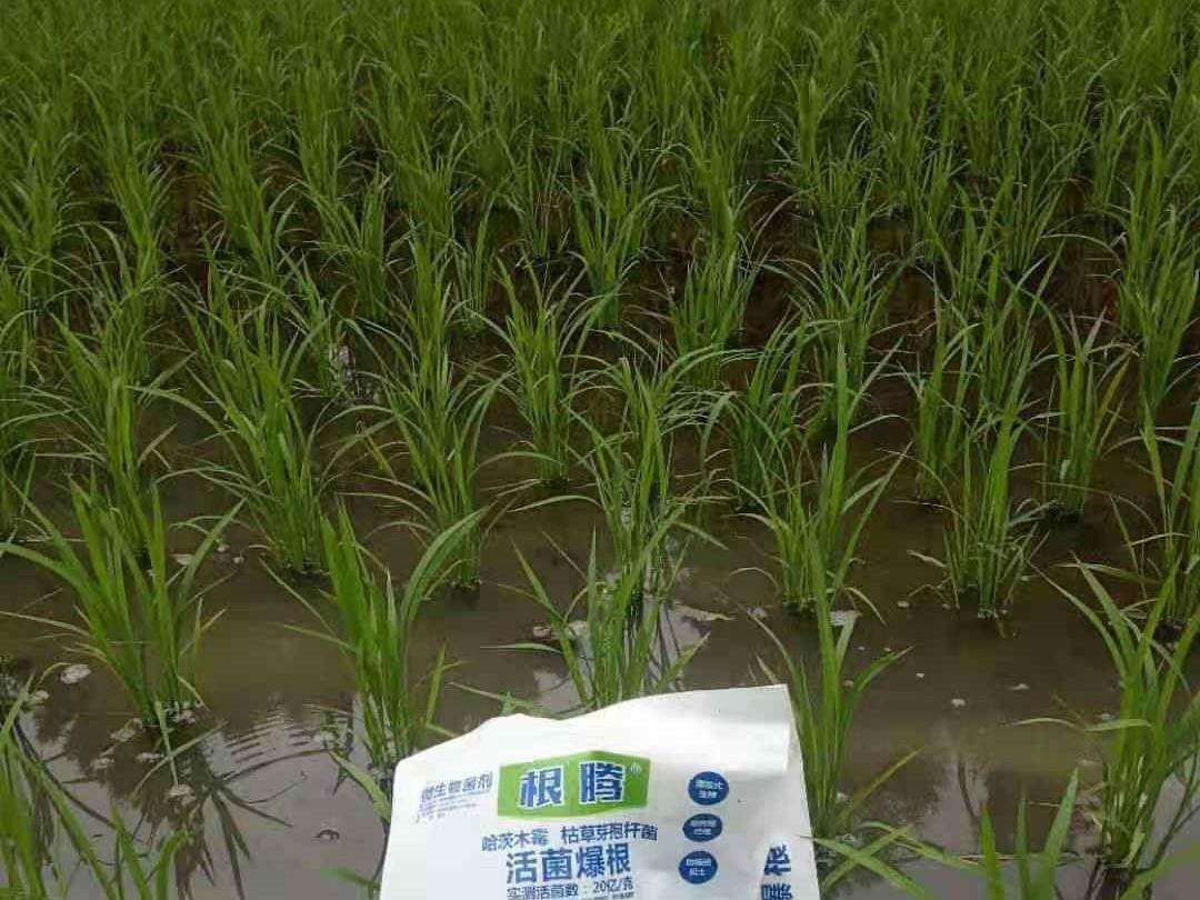 种水稻怎么施肥效果好?
